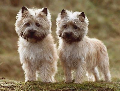 Cairn Terrier Dogs Breeds
