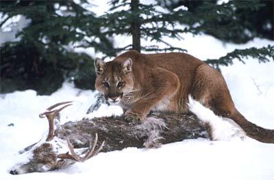 South Dakota Mountain Lion Gets Jack Russell