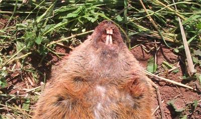 Terrierman's Daily Dose: Groundhog Teeth  Terrierman'...