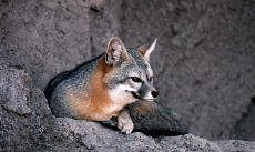 Gray fox habitat - photo#18