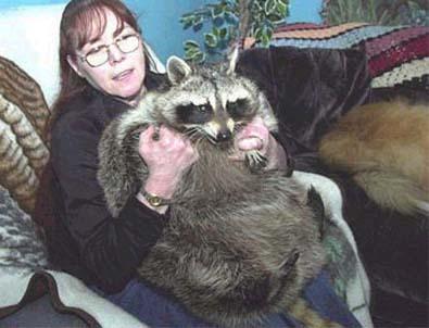 raccoon-75-pounder-pet-Deborah-Klitsch-pic.JPG