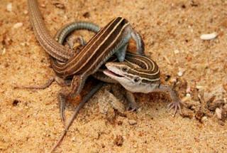 Lizard Sex 26
